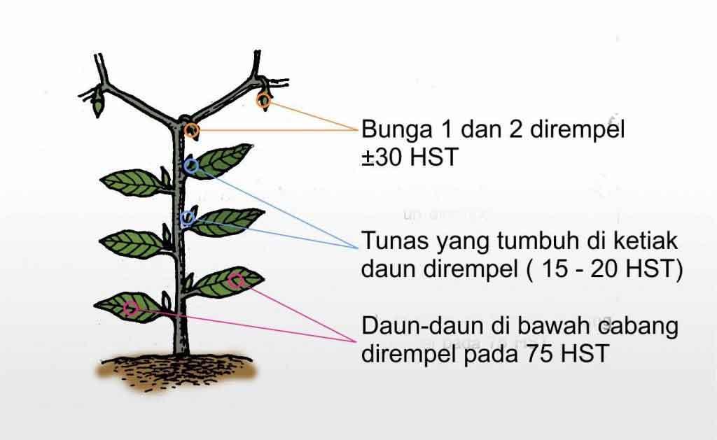 perempalan-tanaman-cabe
