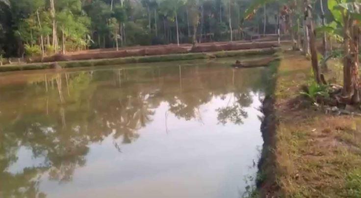 budidaya ikan lele sangkuriang kolam tanah