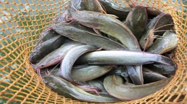cara budidaya ikan lele di kolam tanah