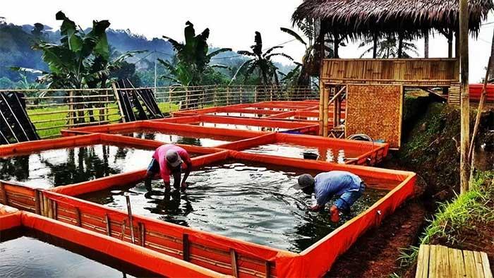 cara ternak ikan lele