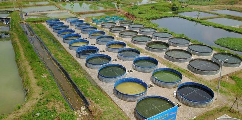 tahap pembibitan ikan lele bioflok