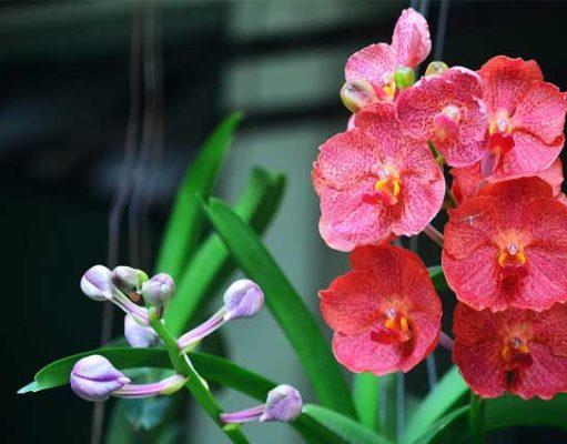 cara-menanam-bunga-anggrek