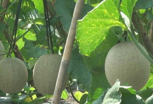Cara-Budidaya-Melon
