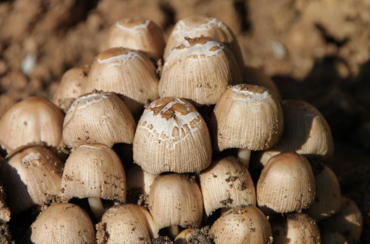 cara membuat bibit jamur merang