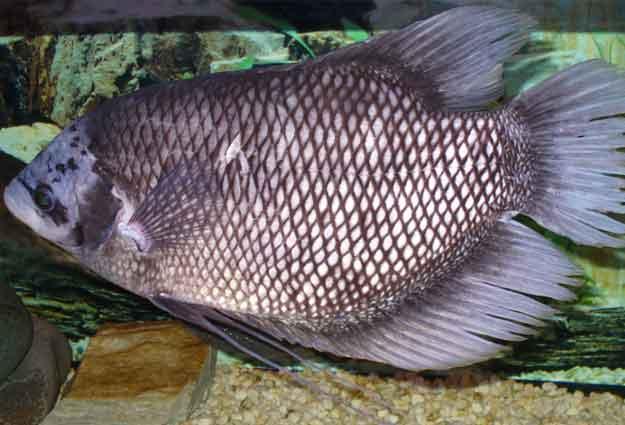 makanan-ikan-gurame-agar-cepat-besar