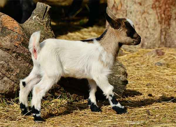 cara-berternak-kambing