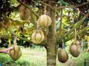 cara-budidaya-tanaman-durian