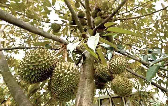cara-menanam-durian